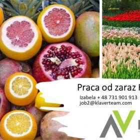 Praca od zaraz Holandia pakowanie owoców